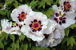 Bush of Paeonia suffruticosa, or Chinese tree peonies in a garden