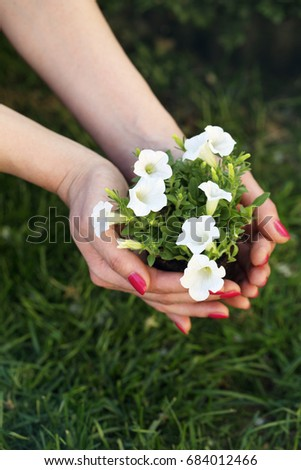 Bush of petty white petunia in female hands #684012466