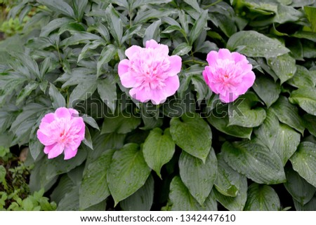 Bush of pink colors of a peony (Paeonia L.) #1342447610