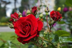 Bush of red roses , blooming, green, floral, spring, petal, flower, summer, gardening,red, flora, texture, garden, Bush, beauty, beautiful, background, fresh, nature