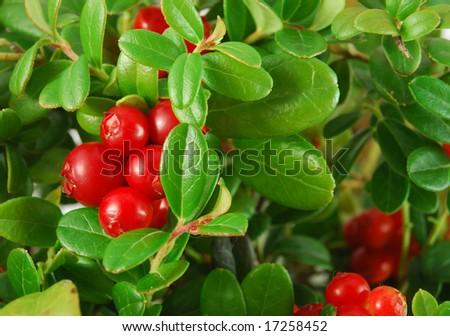 Bush of ripe berries. a few red berries closeup