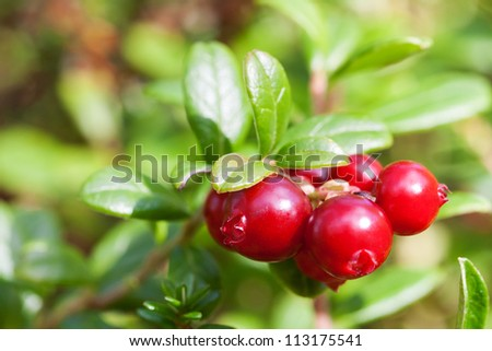 Bush of ripe forest cranberries close-up