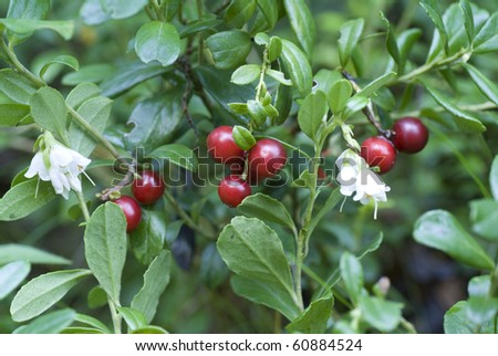 bush of ripe red cranberry in forest