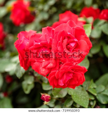 Bush of some bright red ripe roses at blurred green backgrouns #719950393