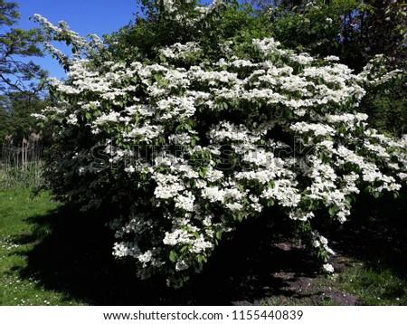 Bush of Viburnum plicatum 'Mariesii' (Wedding Cake Tree)