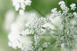 bush of white flowers