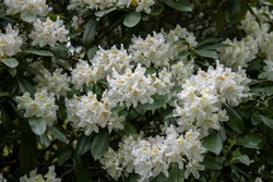 Bush of white flowers in a garden, great white rhododendron, Rhododendron Decorum