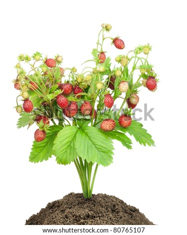 Bush of wild strawberry with ripe red berries grows from forest soil compost isolated