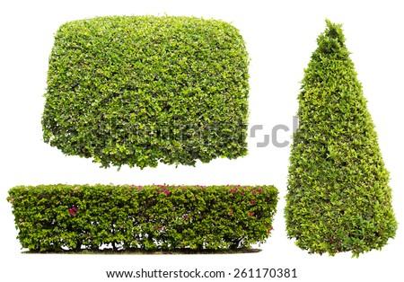 bush on white background , isolated