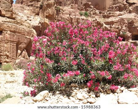 Bush, Petra, Jordan, Middle east