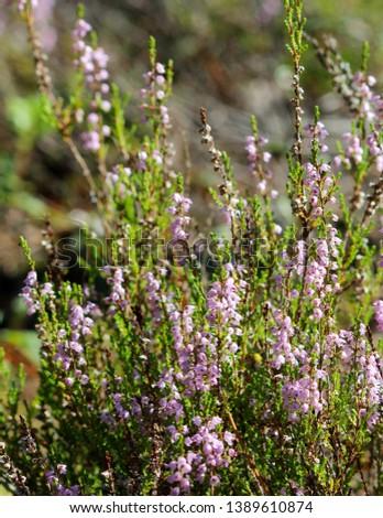 Bush purple scotch heather. Heather flowers pink Calluna vulgaris. #1389610874