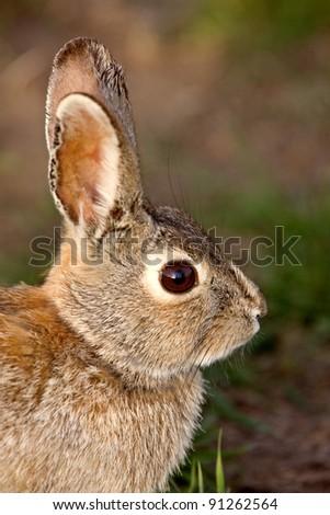 Bush Rabbit Bunny Saskatchewan Canada - stock photo