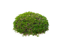Bush,Tree isolated on white background,This has clipping path.