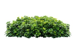 bush tree plant isolated include clipping path on white background