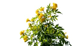 Bush tree yellow flower with on isolated white background with copy space and clipping path.