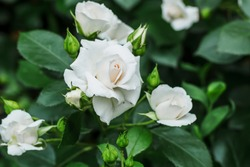 Bush white blooming rose. Growing roses. A lot of beautiful blooming roses. Buds of a white rose. Blooming rose bush. Blooms a lot of flowers.