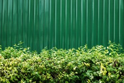 Bush with green zinc wall texture background
