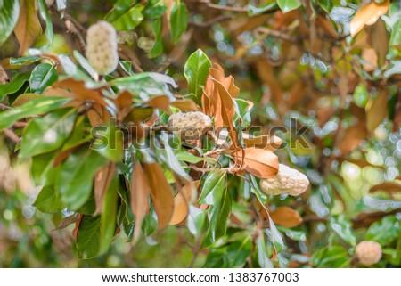 bush with large leathery leaves, magnolia, nature of Abkhazia, green