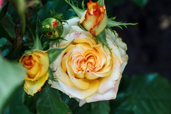 Bush yellow blooming rose. Growing roses. A lot of beautiful blooming roses. Buds of a yellow rose. Blooming rose bush. Blooms a lot of flowers.