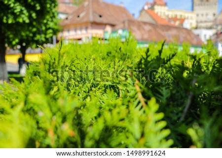 Bushes of a young green juniper in the foreground, in the background of a building and a house, out of focus, selective focus. #1498991624