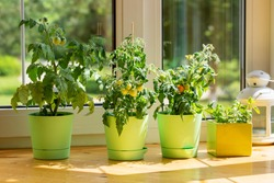Bushes of cherry tomatoes grow in flower pots on the windowsill. Potted tomatoes on window. Kitchen garden.