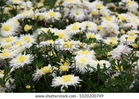 Bushes of chrysanthemums plentifully blossom white flowers with bushes of chrysanthemums plentifully blossom white flowers with cream tones in the middle mightylinksfo