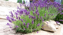 Bushes of lavender in landscape design. Lavender in the garden. The aromatic French Provence lavender grows surrounded by white stones and pebbles in the courtyard of the house.