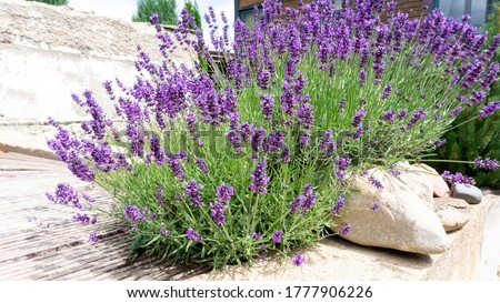 Bushes of lavender in landscape design. Lavender in the garden. The aromatic French Provence lavender grows surrounded by white stones and pebbles in the courtyard of the house. Foto stock ©