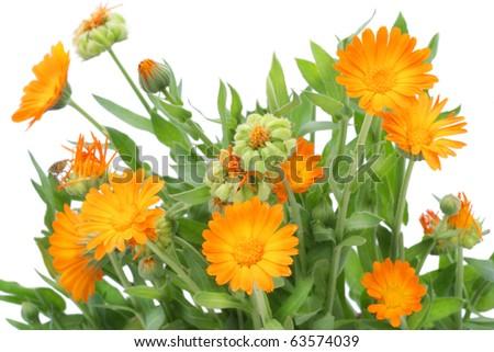 Bushes  of orange Calendula flowers background .Selective focus.  Isolated on white.