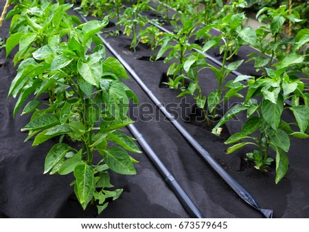 Bushes of sweet pepper, grown in a box for seedlings on a protective Polypropylene spunbond agriculture nonwoven. Use of micro-pouring #673579645
