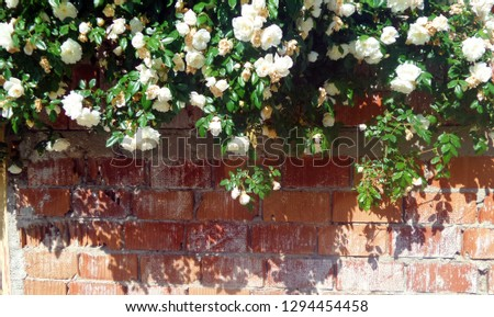 Bushes of white roses on a brick wall background. White garden roses on a stone wall.