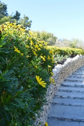 Bushes of yellow daisy on the side of stairs inside the Japanese Garden in San Antonio, Texas, USA
