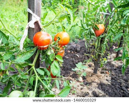 bushes with red ripe tomato fruits near wooden stakes outdoors in garden in summer season #1460010329