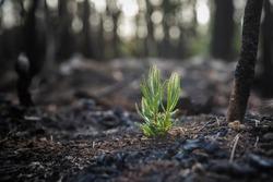 Bushfire regrowth from burnt bush in Australia
