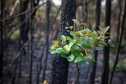 Bushfire regrowth from burnt bush in Australia