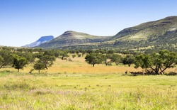 Bushveld scene in South Africa with springbok shading from the hot sun