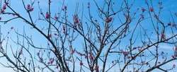 Bushy branches without leaves covered with pink flowers over the blue sky. Spring. Concept of rebirth, of life explosion