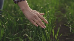Business man farmer hand touches stalks of wheat in a green field, growing wheat grains, agricultural land, vegetation of grain crops, young harvest in slow motion, plant ecology