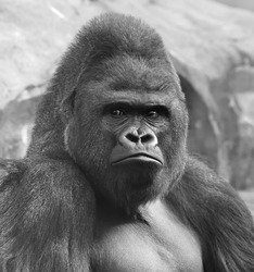 Bust portrait of gorilla male, severe silverback, on rock background. Menacing side look of great ape, most dangerous and biggest monkey of world. The chief of gorilla family in black and white image