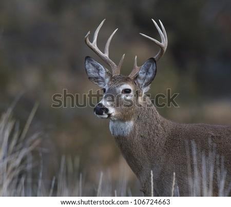 Bust Shot of Whitetail Buck Deer in Grassland Habitat