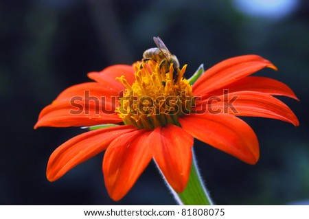 Busy Bee collects pollen from a shasta daisy and ignores a little bug crowding his territory.  Bright orange bloom thrives on the Big Island of Hawaii.