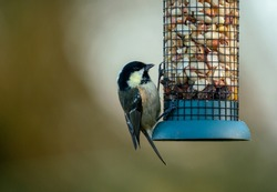 Busy bird feeders in winter with small songbird bluetits finches and robin feeding