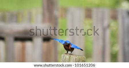 Busy Bluebird nesting in the spring