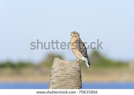 buteo lineatus, red-shouldered hawk - stock photo