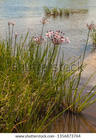 Butomus umbellatus is the Eurasian plant species in the family Butomaceae. Common names include flowering rush or grass rush. #1356873764
