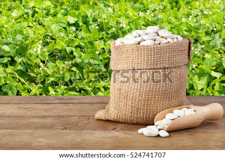 Butter beans or lima beans in burlap bag with wooden scoop. Dry white beans in burlap sack on table with green blooming field of beans on the background. Agriculture and harvest concept #524741707