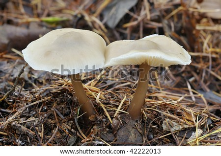 Butter Cap Fungi - Collybia butyracea