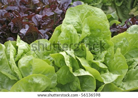 Butter-head lettuce in a garden - outdoor shot