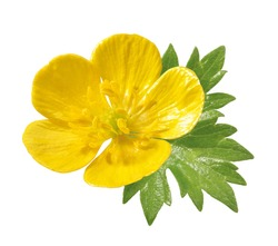 buttercup blossom with leaf