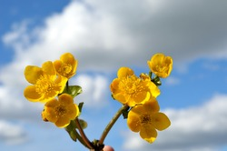 buttercup flowers in summer with vibrant blue sky